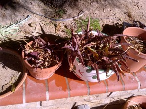 garden update of neglect 1-18-2014 (22)